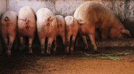 'Saturday's gathering of the pigs round Iain Malcolm's trough promises to be a lively affair'